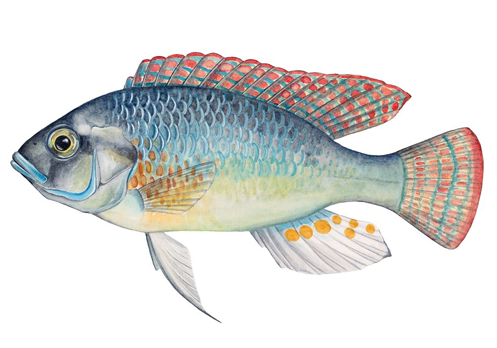 Astatotilapia burtoni (drawing: Julie Johnson)