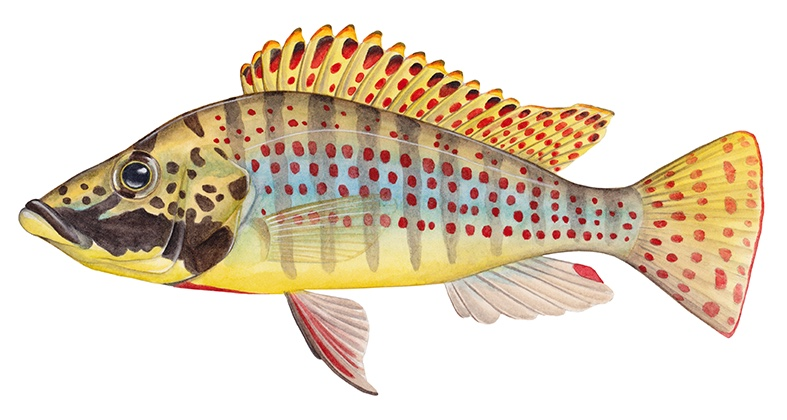 Ctenochromis horei (drawing: Julie Johnson)