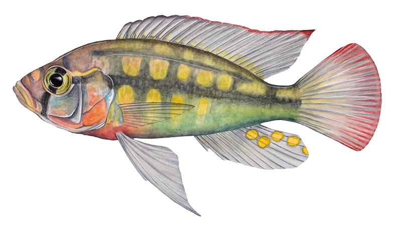 Haplochromis stappersii (drawing: Julie Johnson)